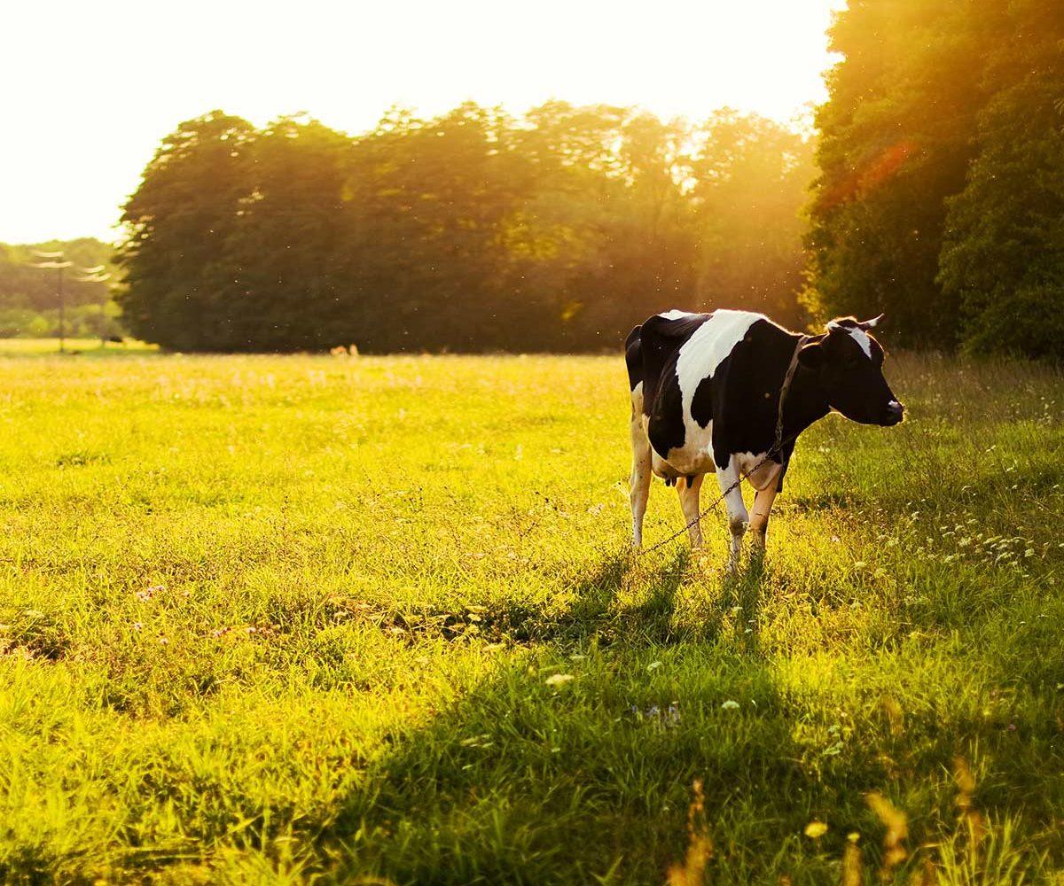 weiland-koe